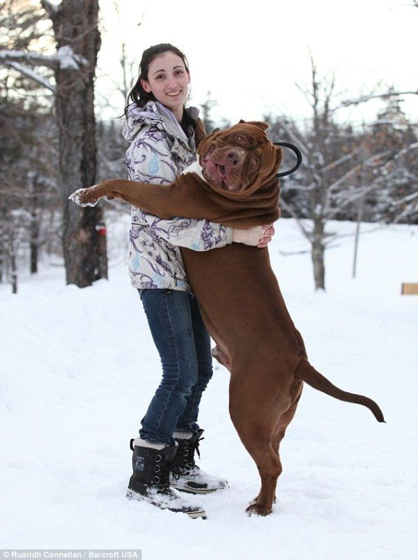 Best Dog Collections Images On Pinterest Google Search Adams - The worlds biggest pit bull just became a dad wait until you see his puppies