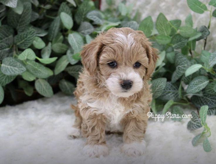 Should I get her??? in 2020 Cavachon puppies, Puppies