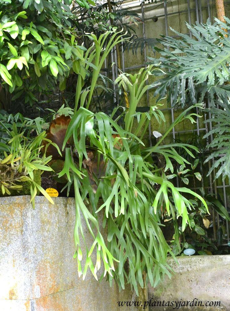 Platycerium bifurcatum-Cuerno de alce-Helecho australiano | Plantas & Jardín