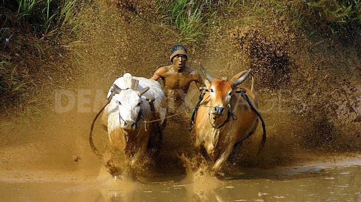Minangkabau people of West Sumatra and traditional cow racing: photo by Yudi Febrianda #essentialoils #farmers