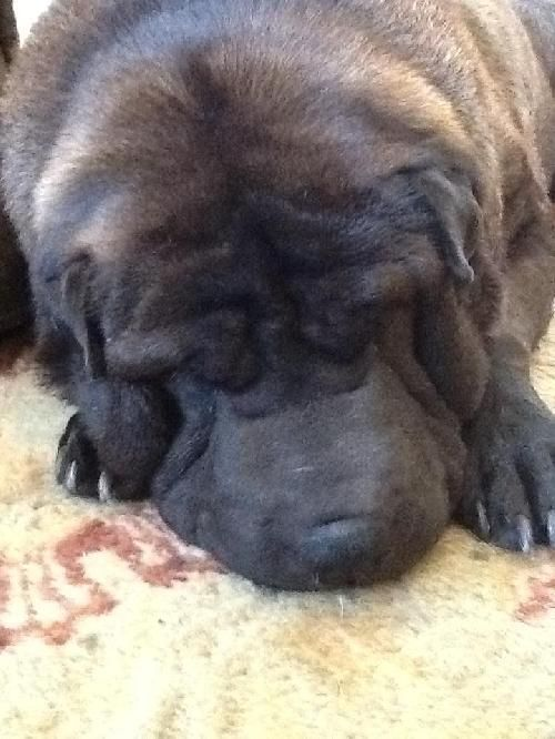 ★9/4/15 SL★Meet Stevie Bear, a Petfinder adoptable Shar Pei Dog | Seattle, WA | Stevie Bear was dumped at a park in So Cal, blind and deaf, and taken to a high kill shelter before...