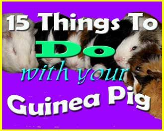 15 things to do with your guinea pig http://abyssinianguineapigtips.com/15-things-to-do-with-your-guinea-pig/