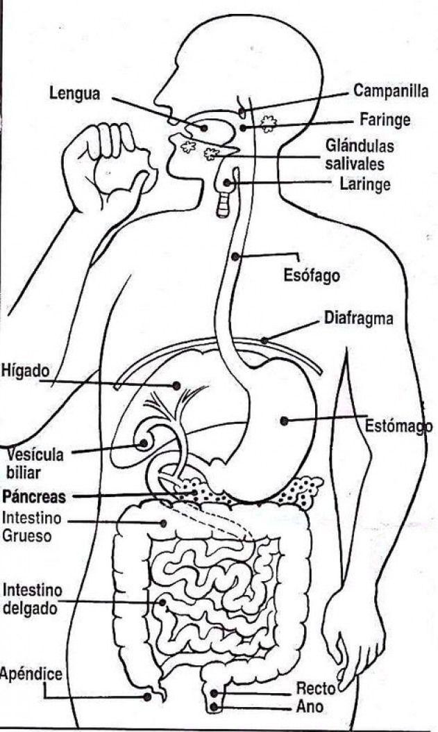 Material Didactico Dibujos Para Colorear Laminas Para Imprimir Y Proyectar Imagenes Para Colorear Sistemas Del Cuerpo Humano Cuerpo Humano Sistemas Del Cuerpo