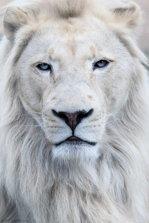 White Lion At Wildlife Heritage Foundation UK C All Rights Reserved