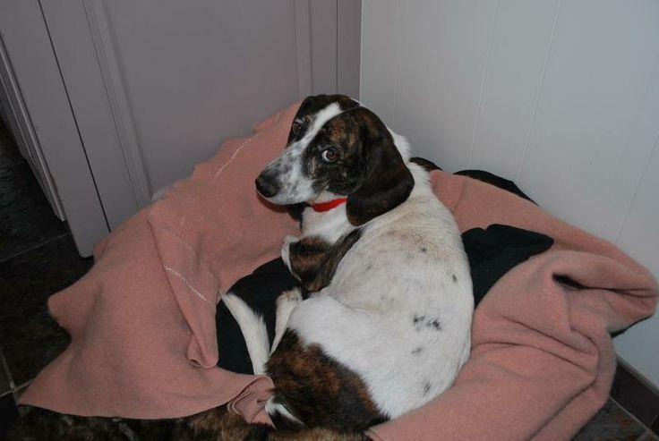 Adopt olivegreat sidekick on dachshund mix basset