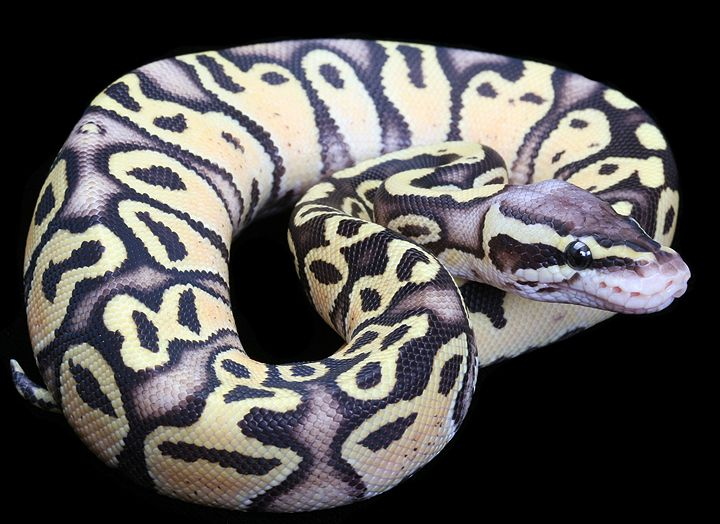 Firefly Royal Python - pastel and fire. Not yellow enough for me!