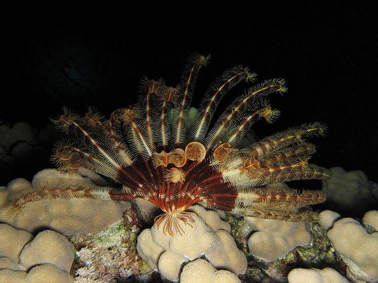 Ονομάζονται κρίνα ή φτερά της θάλασσας και μοιάζουν με φυτά.  Δεν έχουν όμως καμία σχέση με το φυτικό βασίλειο, γιατί απλώς είναι ζώα. Είν...