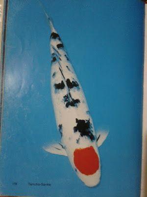 Live Koi Fish for Sale in Cebu , Goldfish for Sale in Cebu: #TanchoSanke #giobelkoicenter