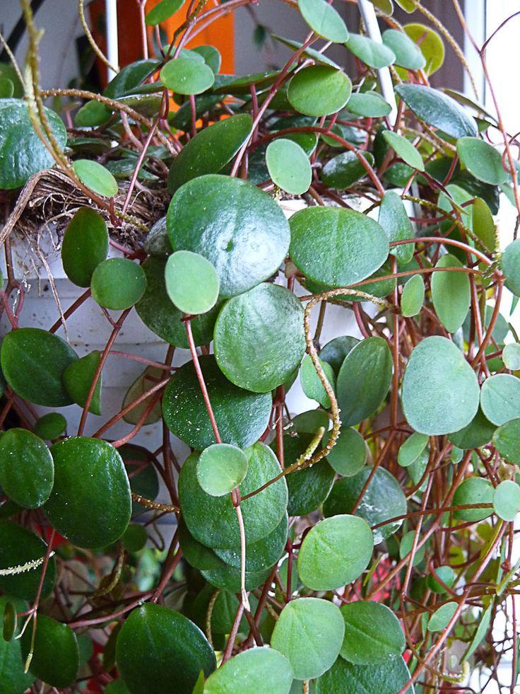 J'ai découvert cette variété de Peperomia le week-end dernier en me promenant sur le quai de la Mégisserie (Paris 1er), dans la boutique Vilmorin Jardin nouvellement rénovée. Avec ses petites feuilles rondes brillantes qui contrastent avec les fines tiges marron rouge, sans oublier les fines inflorescences en forme de queue de rat, cette plante d'intérieur m'a aussitôt attiré et je n'ai pas hésité avant de l'acheter. http://www.pariscotejardin.fr/2013/02/peperomia-pepperspot/