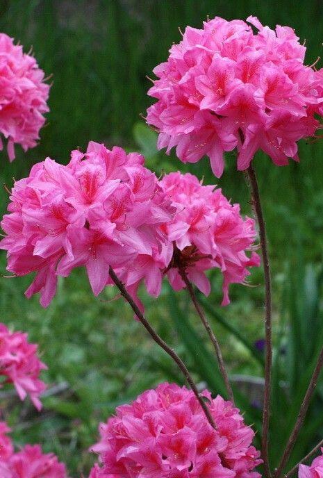 Родендрон рози лайтс
