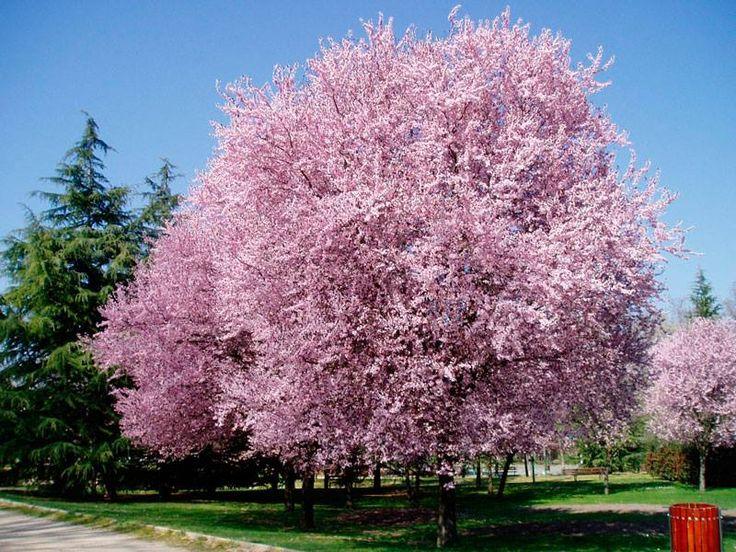 Japanse kers in volle bloei mooie plaatjes met bloemen for Planta ornamental jacaranda