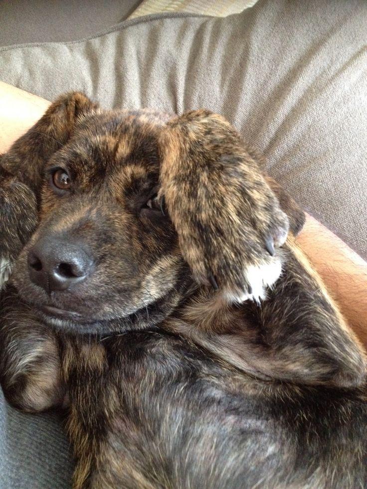 plott hound puppy