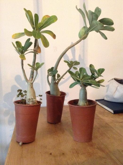 """HalloIk heb twee jonge plantjes en een """"boompje"""" van een baobab gekocht in Mali.  Ze hebben de vliegreis goed overleefd."""