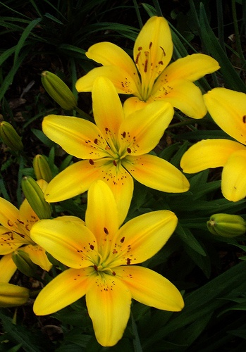 Lillies are my grandmother's favorite flowers...  <3
