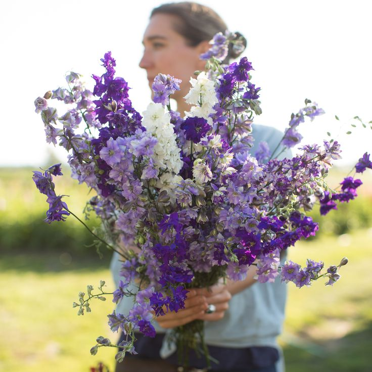 Larkspur Summer Skies Mix. Delphinium consolida ambigua One of the easiest cut flowers to grow, larkspur is cold tolerant and early to bloom, adding tall, colorful spikes to spring gardens. Great in early season mixed bouquets, these versatile flowers can also be dried for later use. This mix includes brilliant dark indigo, periwinkle, a frosty blue and white bicolor and pure white. Seed available from Floret