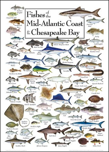 Fishes of the mid atlantic coast chesapeake bay pause for Types of fish in the gulf of mexico