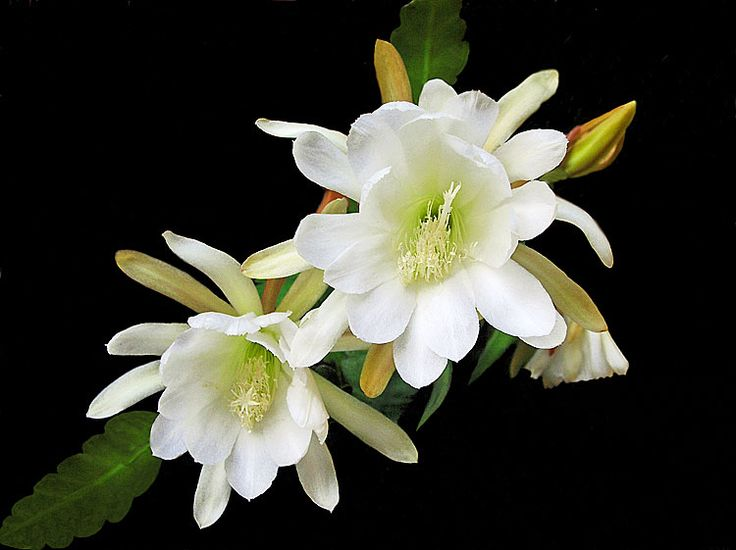 White Lily (Photographic Print - Unframed)