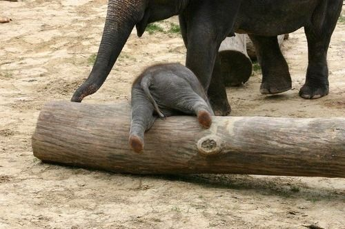 baby elephant bumAwww, Animal Baby, Baby Elephants, Logs, Elephant Butt, Creatures, Funny, Adorable, Things