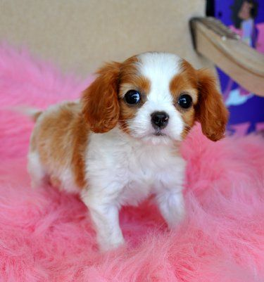 Tiny King Charles Spaniel Puppy SOLD, Moving to Panama