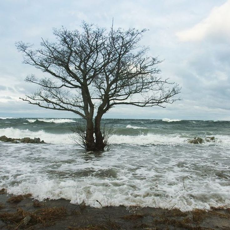 My favourite tree by the sea: #hallekas_tree  Today with water all around it!! 🌊🌊🌊 #tree #sea #waves #visitsweden #österlen