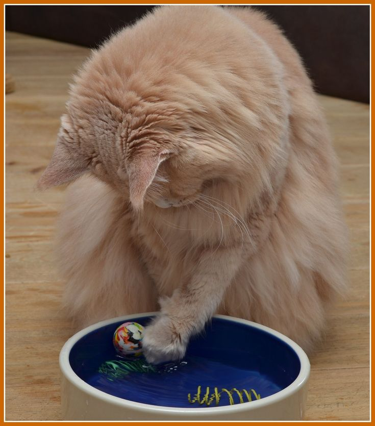 Maine Coon, Creme  (e). RoyalHunter's Highflyer playing with his ball. Photo by #ellycraner