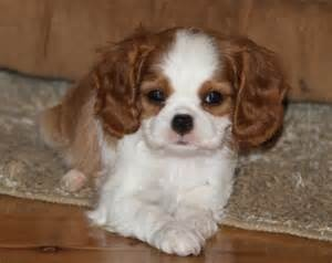 Oh so cute!  Image detail for -Blenheim Cavalier King Charles Spaniel pup photo - WP18795