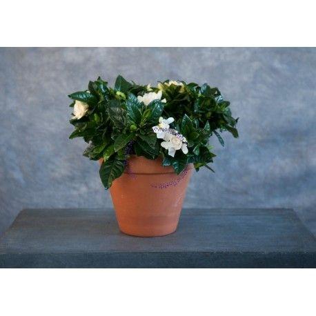 Gardenia jasminoides, este originară din China și Japonia. Aceasta are flori albe, lucioase si foarte parfumate si frunze de culoare verde-inchis. Florile apar la mijlocul primaverii sau inceputul verii, si dureaza destul de mult. Gardeniile au flori albe (devin crem pe masura ce se maturizeaza) si par cerate; au un parfum puternic si dulce. Livrare gratuita in Cluj-Napoca si Huedin.