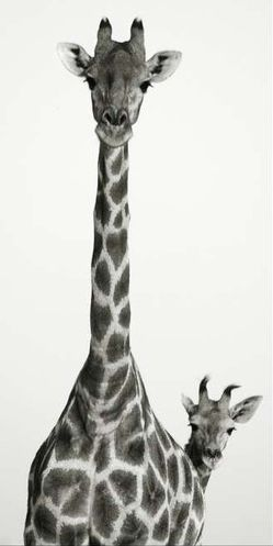 great picture of giraffes @Jillian Masera thought you would like this you always have giraffe pics
