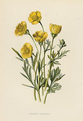 set of 4 victorian botanical prints, color chromolithographs, silver weed, dandelion, toad flax, bulbous crowfoot, this is is set of four yellow flower prints.