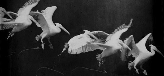 "Etienne-Jules Marey ""Pelicans in Flight"" (1882)"