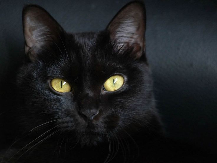 Google Image Result for http://cats-pictures.org/pictures/get_image/173-1200x900-bombay%2Bcat-solo-miotic%2Bpupil-black%2Bhair-whiskers-black%2Bnose.jpg