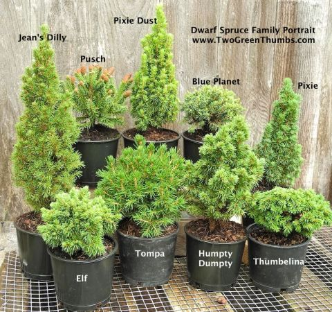 Nine different Dwarf Spruces for the Miniature Garden #miniaturegarden #conifer #plants