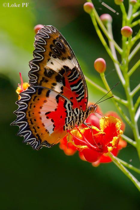 "Cethosia hypsea hypsina (Malay Lacewing)  | Sharing A Few Butterflies Part IX - Page 9 | ""Butterflies are self propelled flowers.""  ― Robert A. Heinlein"