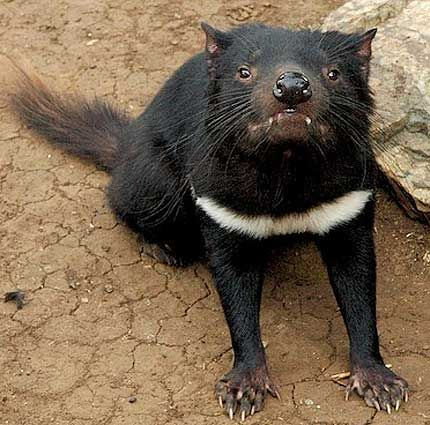The Tasmanian devil is a carnivorous mammal that is native only to the Australasian island of Tasmania. It is a marsupial and is distantly related to both kangaroos and wombats. Despite being related to both these species this creature looks more like a wild dog. The average male has a body length of up to 26 inches (65 cm) and on average weighs around 13 lb (6 kg).    The devil has coarse black fur and secretes an offensive odour like a skunk when stressed or disturbed. When they feel…