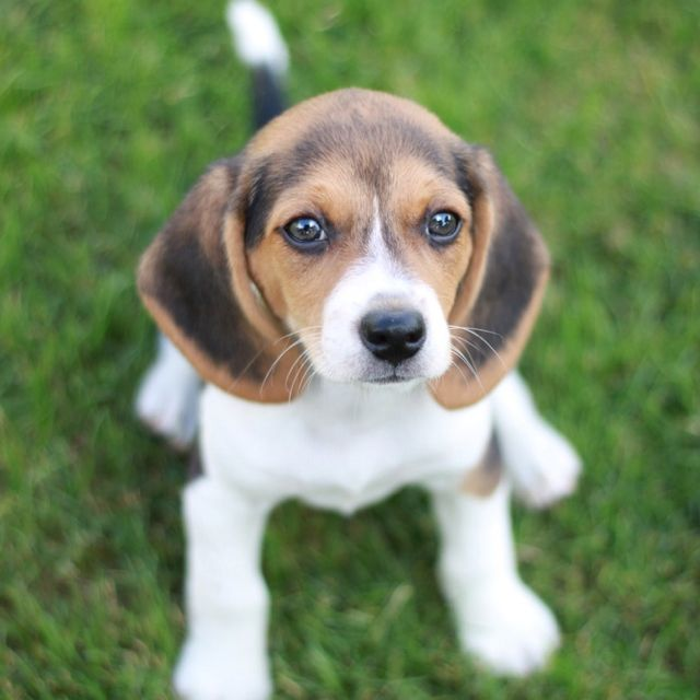 Beagle puppy looking ready to play!