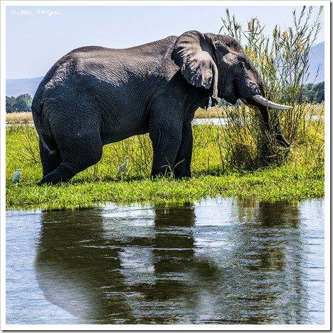 The wading elephant