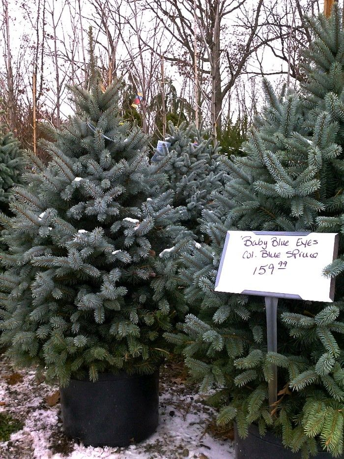DIY Plant Your Live Christmas Tree in the Garden -- everything you need to know about buying, caring for, and planting a live Christmas Tree via Gardenista