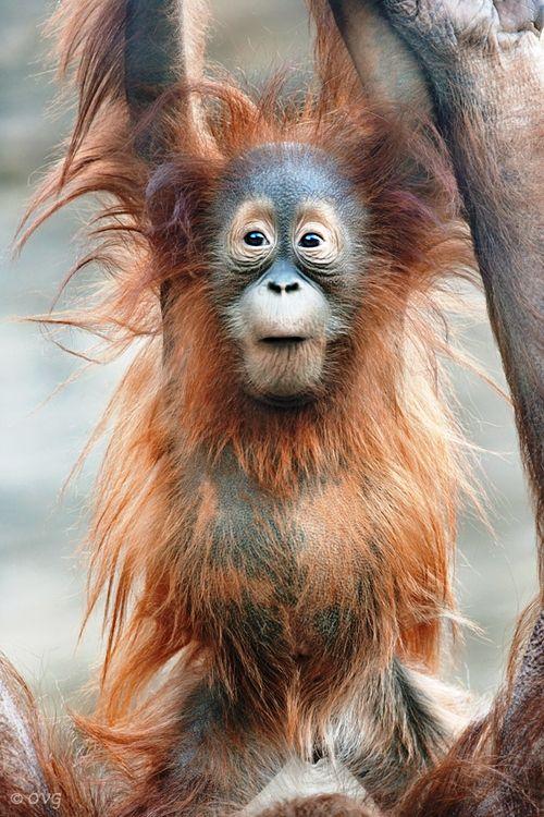 baby orangutan by Olga Gladysheva. Orangutans continue to be threatened by habitat destruction and the growth of palm oil plantations.