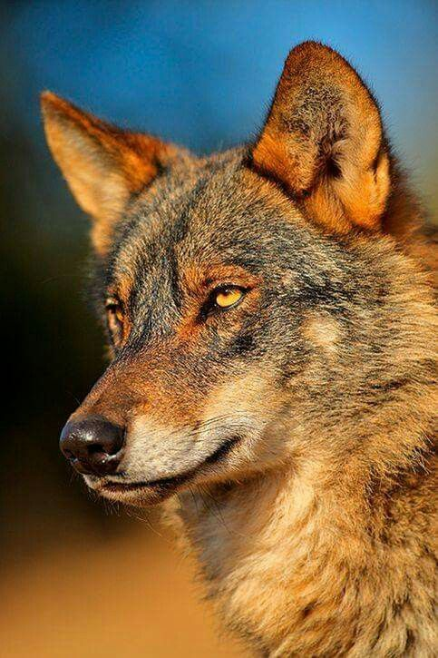 RED WOLF.....found in North America in swamps, forests, wetlands and bushlands....measures 3.25 - 4 feet long with a 10 - 14 inch tail and a weight of 40 - 90 lbs....declared extinct in the wild in 1980, but fortunately a captive breeding program enabled the species to be reintroduced....as of 2010, the reintroduced population eastern North Carolina was thought to total around 130....jaw pressure, or biting capacity, has been measured at 1,500 pounds per square inch