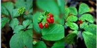 How to Grow Wild American Ginseng | eHow.com
