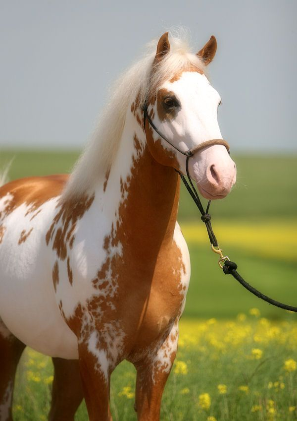 Would love to have horses my favorites are Paints name?... Hidalgo of course