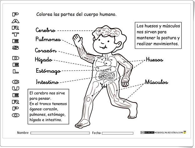 El Cuerpo Humano Por Dentro Fichas De Ciencias Naturales De Primaria Cuerpo Humano El Cuerpo Humano Infantil Cuerpo Humano Para Ninos