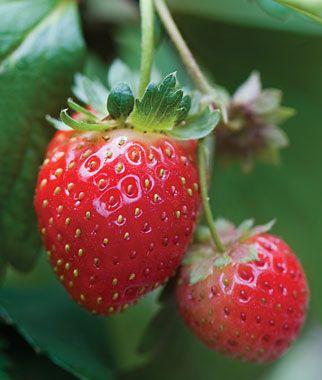 Strawberry, Mara Des Bois PP 8517