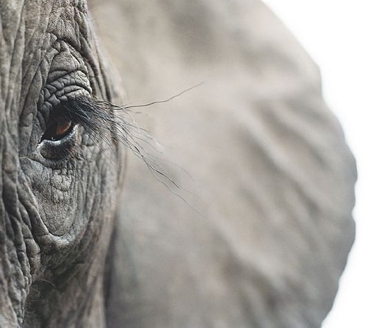 The eyes of elephants are about the same size as a human's. The eyes are usually dark brown, with upper and lower lids, and long eyelashes on the upper lid. With one eye on either side of their head elephants have a wide visual field, although their eyesight is relatively poor, particularly in bright sunlight.