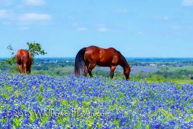 My beautiful Texas... A field of bluebonnets, good looking horses, a Texas blue sky.