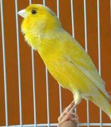 http://jenisburung.com/download-suara-burung-kenari.html