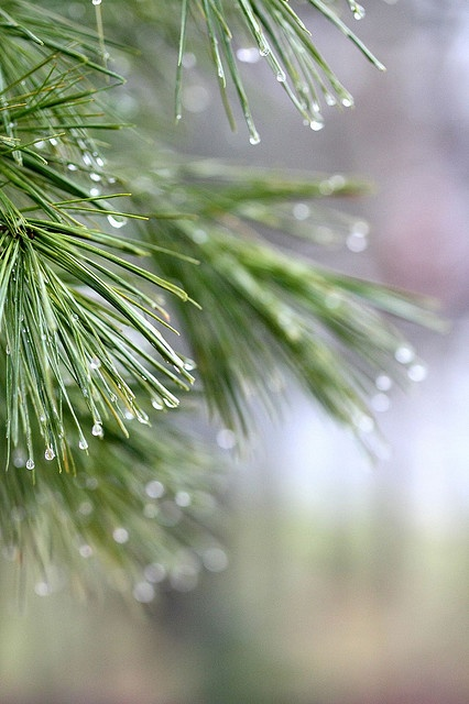 I love the scent of pine trees. Especially after it rains.  (PDD)