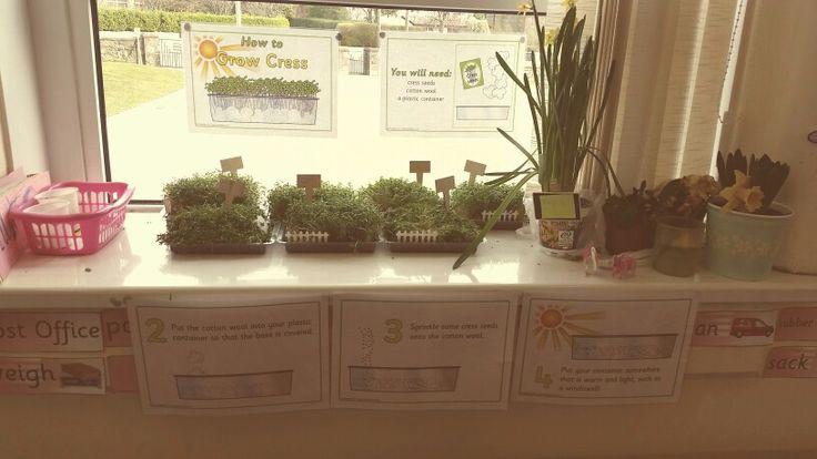 Growing Cress Display