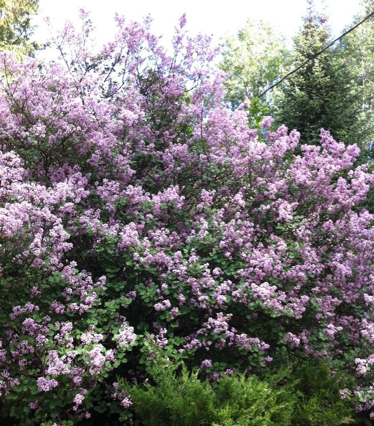 Mini Lilac Bush
