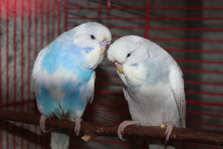 Птенцы 2014 года - выставочный волнистый попугай